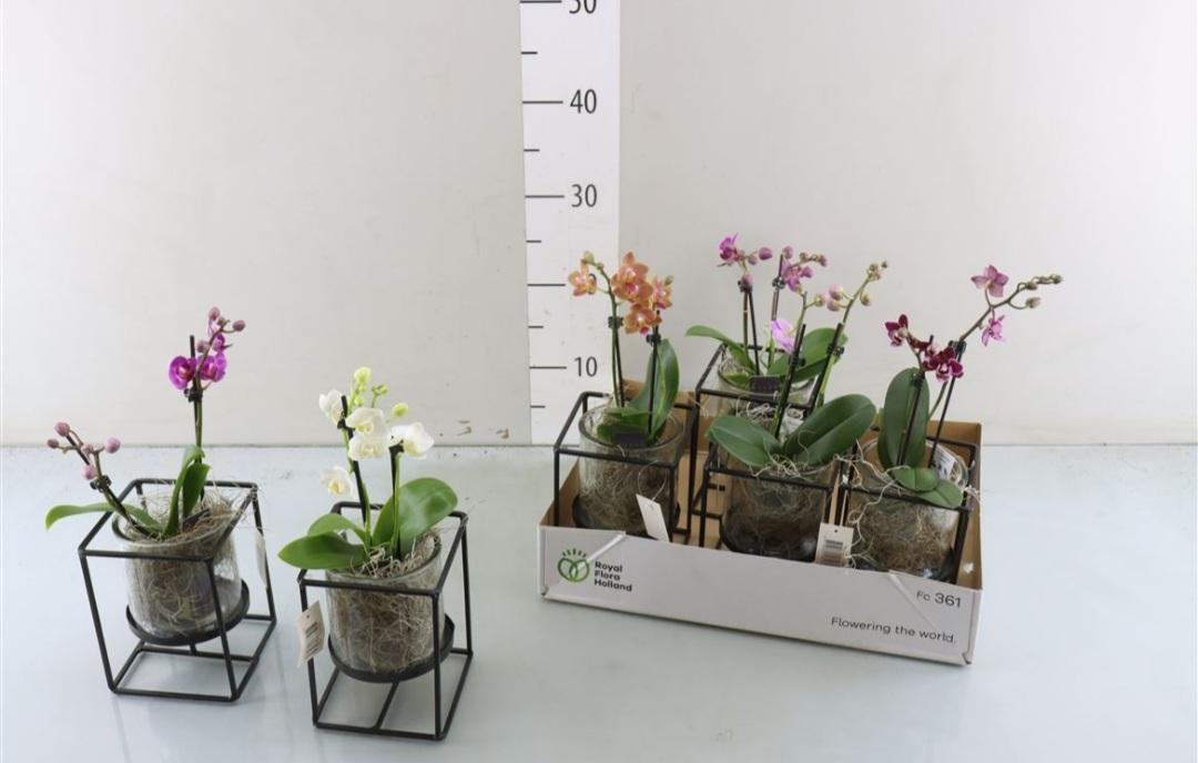Phalaenopsis mini gemengd glas+frame
