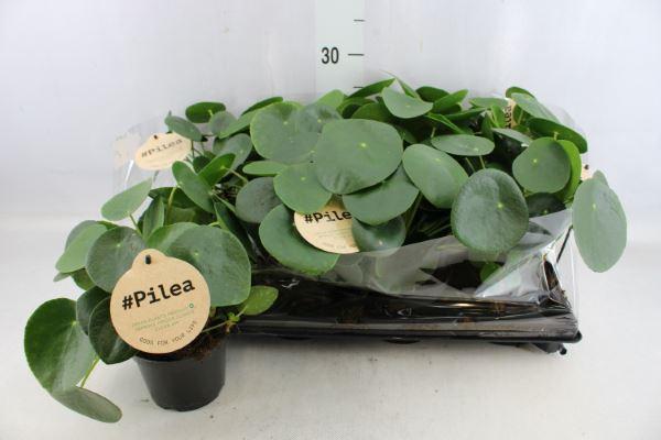 Pilea Peperomioides pannekoekplant