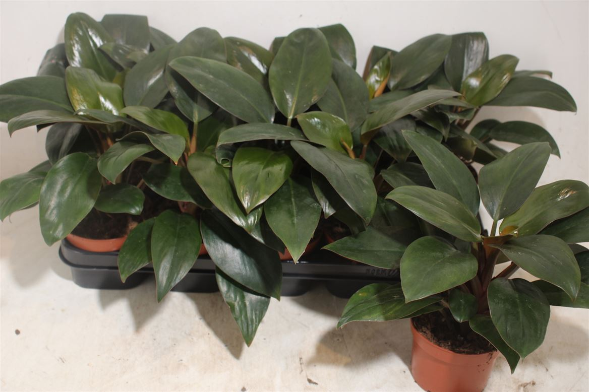 Pholidendron Congo Red